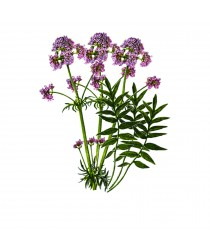 Valerian Root Extract - Regulador de Ansiedad